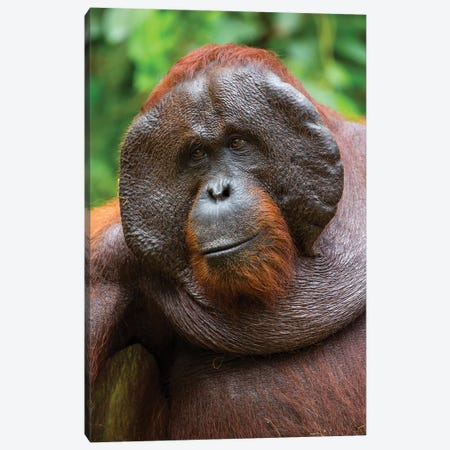 Orangutan Male Smile Borneo Canvas Print #MOG89} by Mogens Trolle Art Print