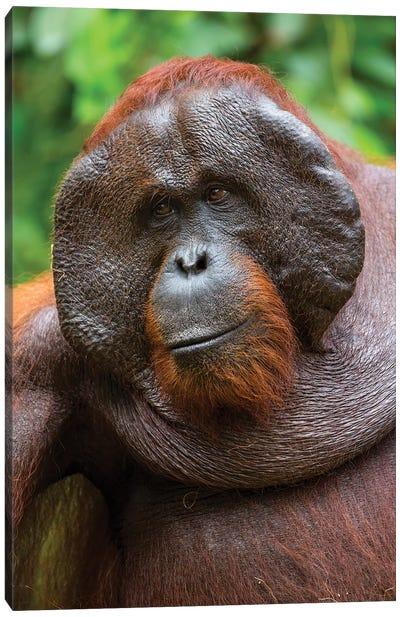 Orangutan Male Smile Borneo Canvas Art Print