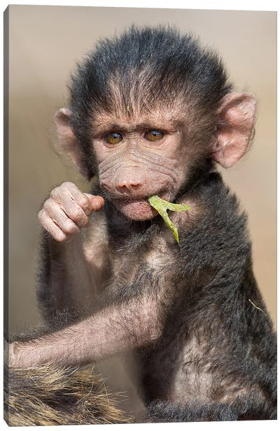 Baboon Baby Vertical Canvas Art Print