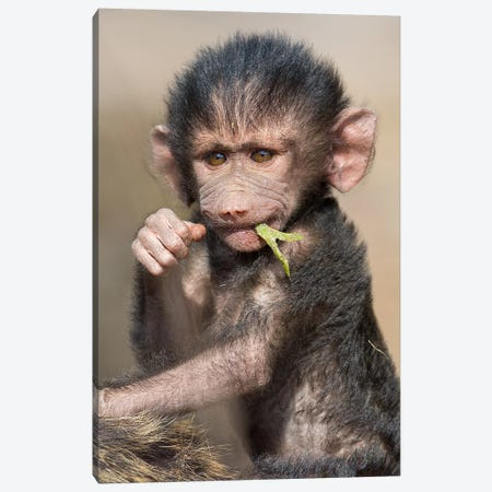 Baboon Baby Vertical Canvas Print #MOG8} by Mogens Trolle Canvas Wall Art