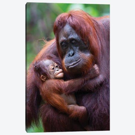Orangutan Mother And Baby Borneo Canvas Print #MOG90} by Mogens Trolle Canvas Artwork
