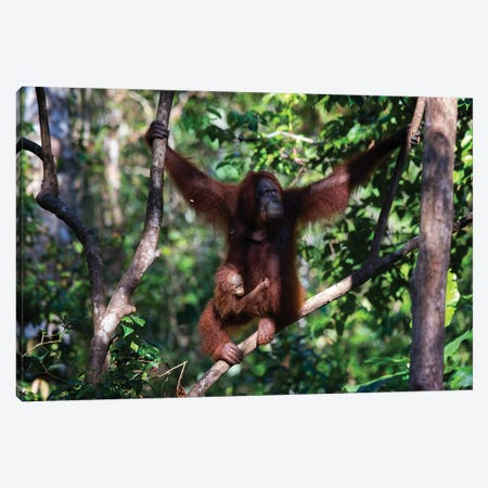 Orangutan Mother And Baby In Tree Canvas Print #MOG91} by Mogens Trolle Canvas Wall Art