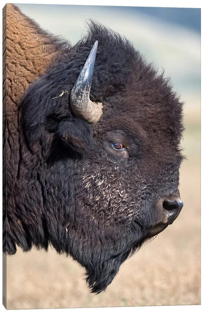 Bison Bull Profile Grand Teton Canvas Art Print