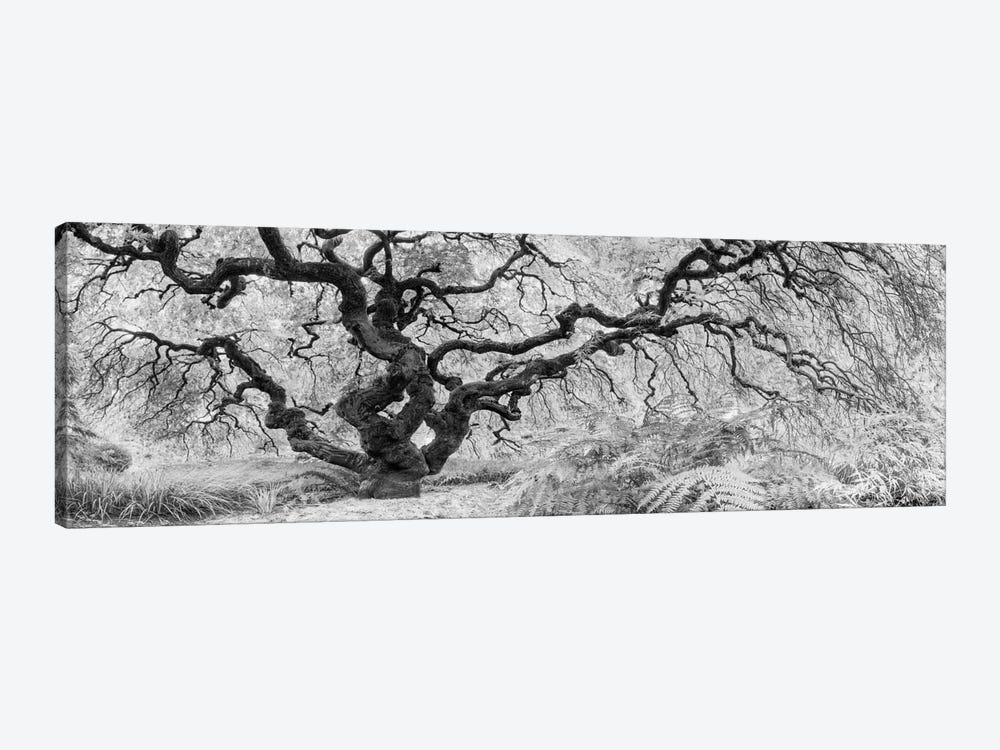 Old Maple by Moises Levy 1-piece Canvas Print