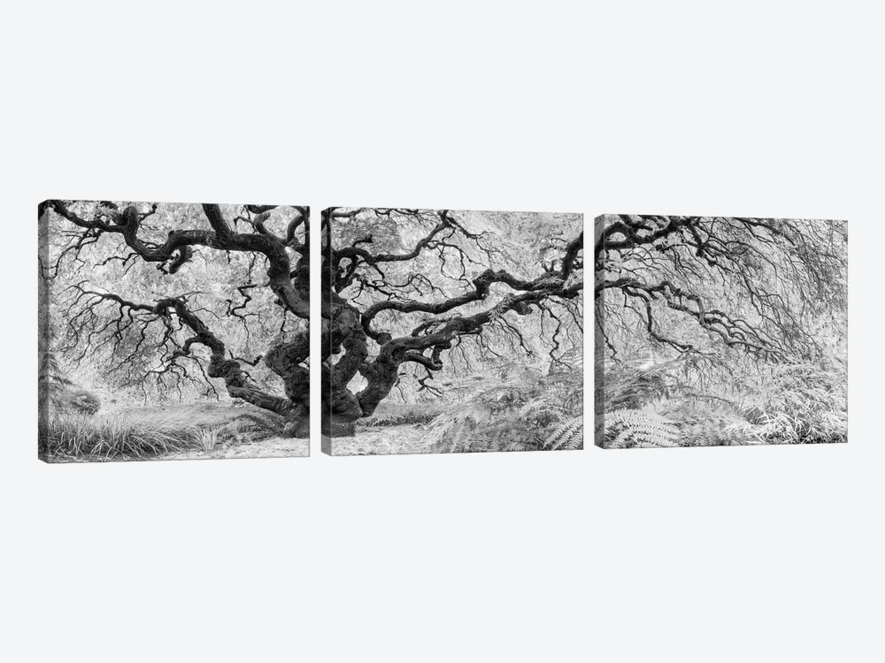 Old Maple by Moises Levy 3-piece Canvas Print