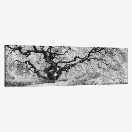 Old Maple Canvas Print #MOL105} by Moises Levy Canvas Wall Art