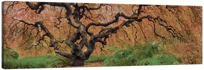 Old Maple Color Canvas Print #MOL106