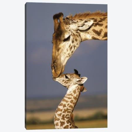 Giraffe, Africa, Kenya, Masai Mara. Canvas Print #MPA13} by Marilyn Parver Canvas Print