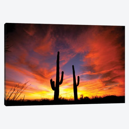 A Pair Of Saguaro Cacti At Sunset, Sonoran Desert, Arizona, USA Canvas Print #MPA2} by Marilyn Parver Art Print