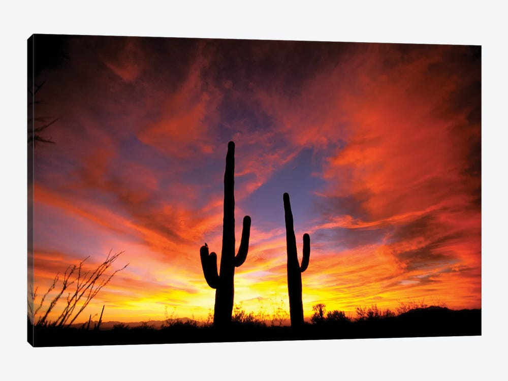 A Pair Of Saguaro Cacti At Sunset, Sonoran Desert, Arizona, USA by Marilyn Parver 1-piece Canvas Artwork
