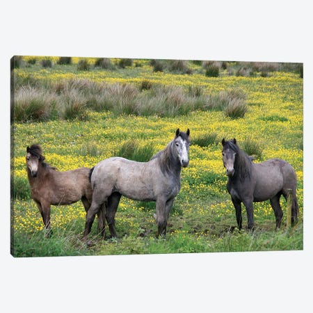 In Western Ireland, Three Horses With Long Manes, Stand In A Field Of Yellow Wildflowers In The Irish Counrtyside Canvas Print #MPA4} by Marilyn Parver Canvas Wall Art