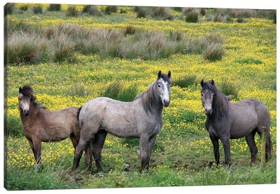 In Western Ireland, Three Horses With Long Manes, Stand In A Field Of Yellow Wildflowers In The Irish Counrtyside Canvas Art Print
