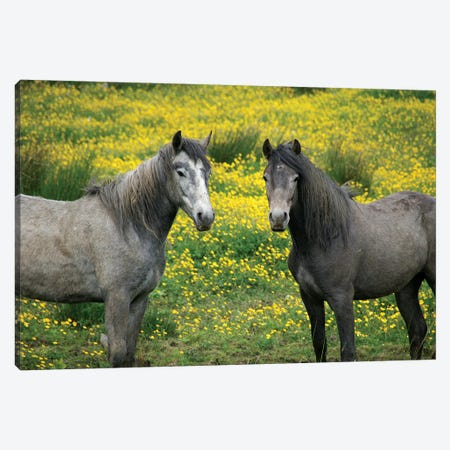 In Western Ireland, Two Horses With Long Flowing Manes, In A Field Of Yellow Wildflowers In The Irish Counrtyside Canvas Print #MPA5} by Marilyn Parver Canvas Art