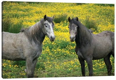 In Western Ireland, Two Horses With Long Flowing Manes, In A Field Of Yellow Wildflowers In The Irish Counrtyside Canvas Art Print