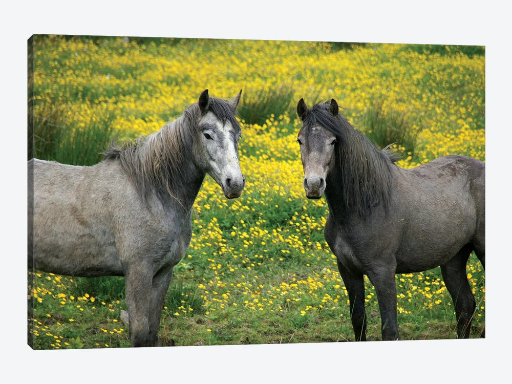 In Western Ireland, Two Horses With Long Flowing Manes, In A Field Of Yellow Wildflowers In The Irish Counrtyside by Marilyn Parver 1-piece Canvas Print