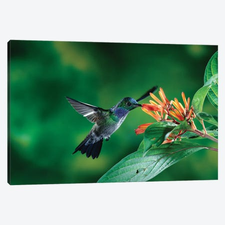 Blue-Chested Hummingbird Albino Male Feeding At And Pollinating Flowers Lowland Rainforest, Costa Rica Canvas Print #MPF1} by Michael & Patricia Fogden Canvas Wall Art