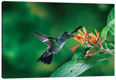 Blue-Chested Hummingbird Albino Male Feeding At And Pollinating Flowers Lowland Rainforest, Costa Rica Canvas Art Print