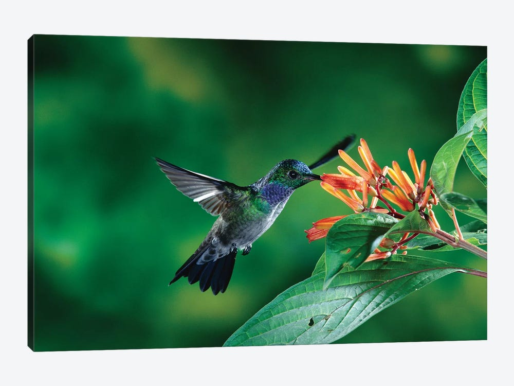 Blue-Chested Hummingbird Albino Male Feeding At And Pollinating Flowers Lowland Rainforest, Costa Rica by Michael & Patricia Fogden 1-piece Canvas Art