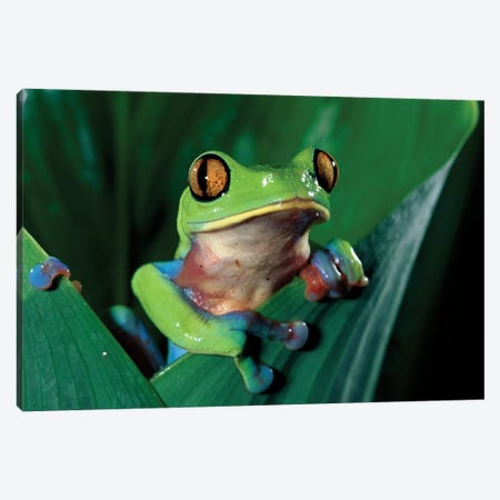 Blue-Sided Leaf Frog Hanging On Leaf, Close-Up, Cloud Forest, Costa Rica Canvas Print #MPF2} by Michael & Patricia Fogden Canvas Art