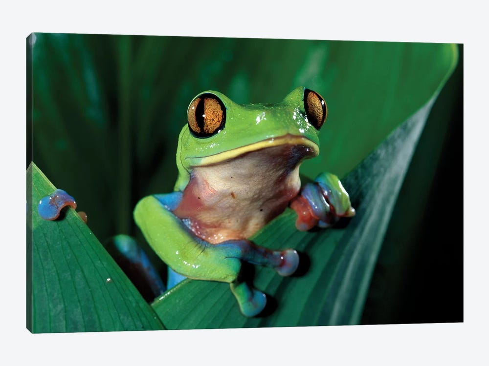 Blue-Sided Leaf Frog Hanging On Leaf, Close-Up, Cloud Forest, Costa Rica by Michael & Patricia Fogden 1-piece Canvas Art Print