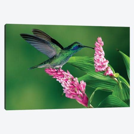 Green Violet-Ear Hummingbird Feeding At And Pollinating Epiphytic Orchid, Costa Rica Canvas Print #MPF3} by Michael & Patricia Fogden Canvas Artwork