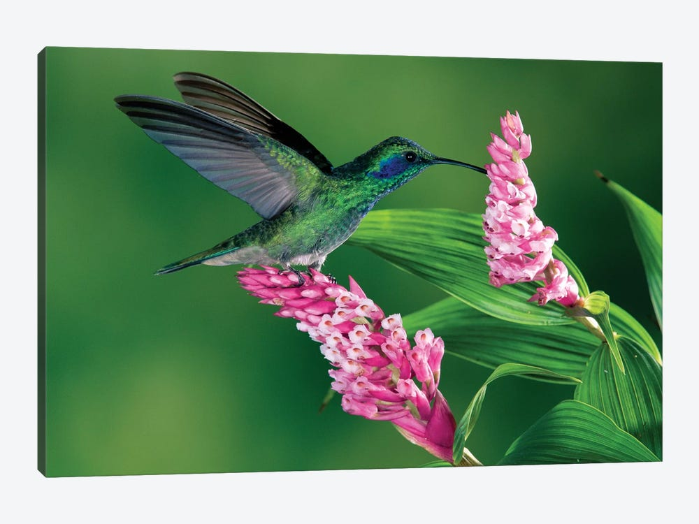 Green Violet-Ear Hummingbird Feeding At And Pollinating Epiphytic Orchid, Costa Rica by Michael & Patricia Fogden 1-piece Canvas Art