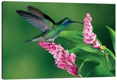 Green Violet-Ear Hummingbird Feeding At And Pollinating Epiphytic Orchid, Costa Rica Canvas Art Print