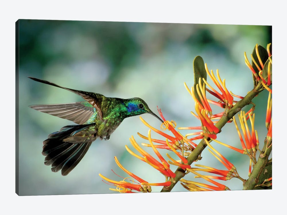 Green Violet-Ear Hummingbird Feeding, Monteverde Cloud Forest, Costa Rica by Michael & Patricia Fogden 1-piece Canvas Print