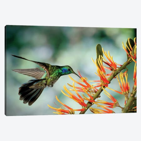 Green Violet-Ear Hummingbird Feeding, Monteverde Cloud Forest, Costa Rica Canvas Print #MPF4} by Michael & Patricia Fogden Canvas Print