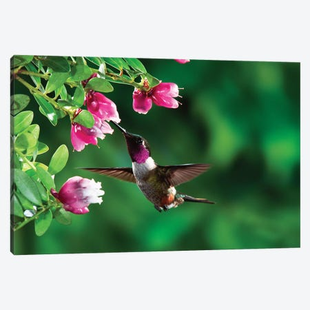 Magenta-Throated Woodstar Hummingbird Male Feeding On Epiphytic Heath, Costa Rica Canvas Print #MPF5} by Michael & Patricia Fogden Canvas Art Print