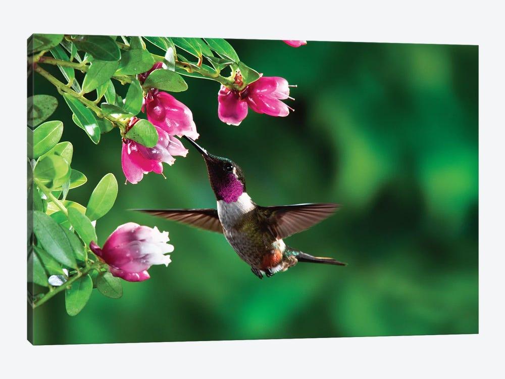 Magenta-Throated Woodstar Hummingbird Male Feeding On Epiphytic Heath, Costa Rica by Michael & Patricia Fogden 1-piece Canvas Art