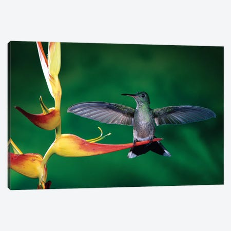 Scaly-Breasted Hummingbird Near A Heliconia Flower In Rainforest, Costa Rica Canvas Print #MPF6} by Michael & Patricia Fogden Canvas Art Print
