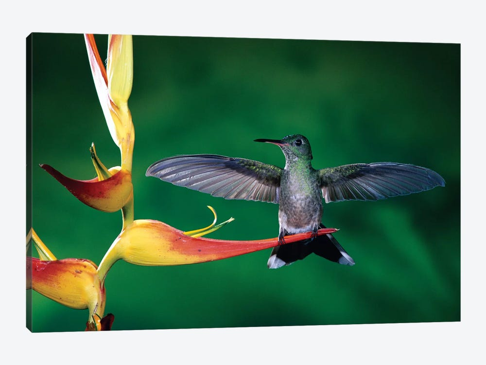 Scaly-Breasted Hummingbird Near A Heliconia Flower In Rainforest, Costa Rica by Michael & Patricia Fogden 1-piece Art Print
