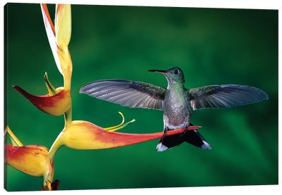 Scaly-Breasted Hummingbird Near A Heliconia Flower In Rainforest, Costa Rica Canvas Art Print