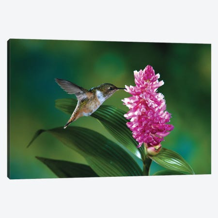 Female Scintillant Hummingbird At Flowers Of An Epiphytic Orchid, Monteverde Cloud Forest Reserve, Costa Rica Canvas Print #MPF7} by Michael & Patricia Fogden Art Print