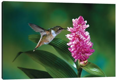 Female Scintillant Hummingbird At Flowers Of An Epiphytic Orchid, Monteverde Cloud Forest Reserve, Costa Rica Canvas Art Print