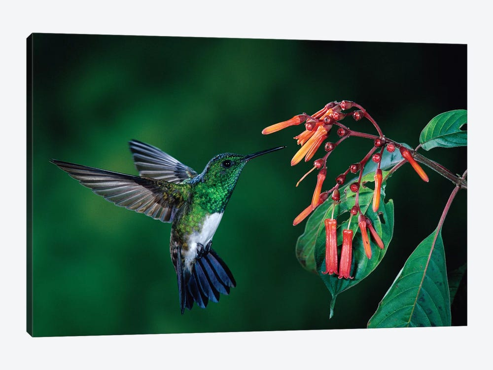 Snowy-Bellied Hummingbird Male Flying Near Firebush Flowers Cloud Forest, Costa Rica by Michael & Patricia Fogden 1-piece Canvas Art Print