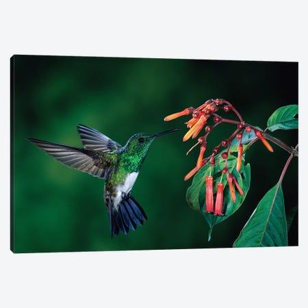 Snowy-Bellied Hummingbird Male Flying Near Firebush Flowers Cloud Forest, Costa Rica Canvas Print #MPF8} by Michael & Patricia Fogden Canvas Artwork