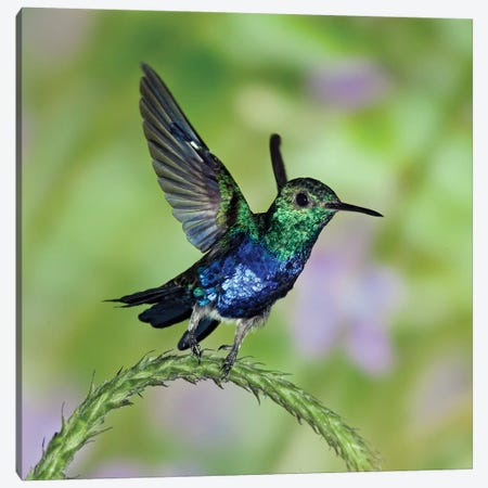 Violet-Bellied Hummingbird Male Taking Flight, Western Ecuador Canvas Print #MPF9} by Michael & Patricia Fogden Canvas Wall Art