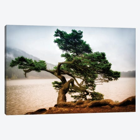 Orcas Island Pine Canvas Print #MPH103} by MScottPhotography Art Print