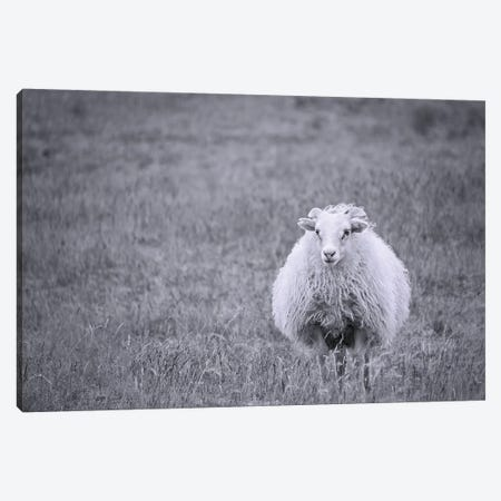 Sheep Canvas Print #MPH131} by MScottPhotography Canvas Wall Art