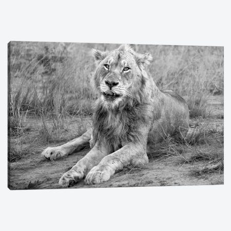 Young Male Lion Canvas Print #MPH169} by MScottPhotography Canvas Print
