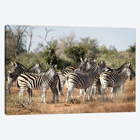Zebra Dazzle Canvas Print #MPH170} by MScottPhotography Canvas Art