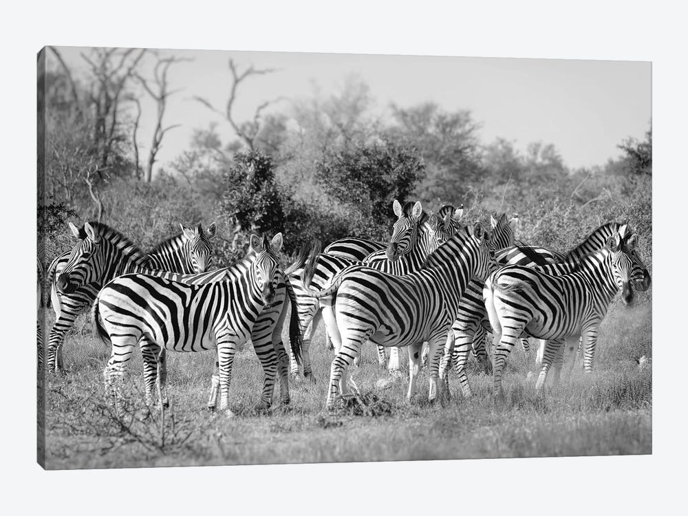 Zebras by MScottPhotography 1-piece Canvas Art