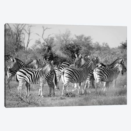 Zebras Canvas Print #MPH171} by MScottPhotography Canvas Wall Art