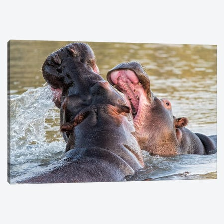 Hippos Canvas Print #MPH56} by MScottPhotography Art Print