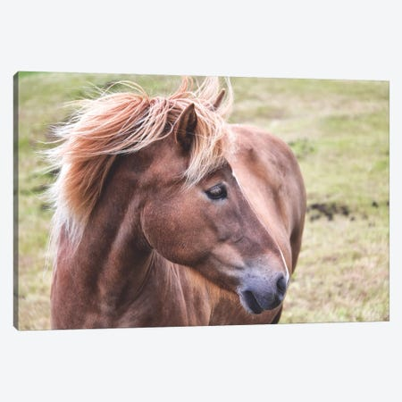 Icelandic Pony Canvas Print #MPH64} by MScottPhotography Canvas Wall Art