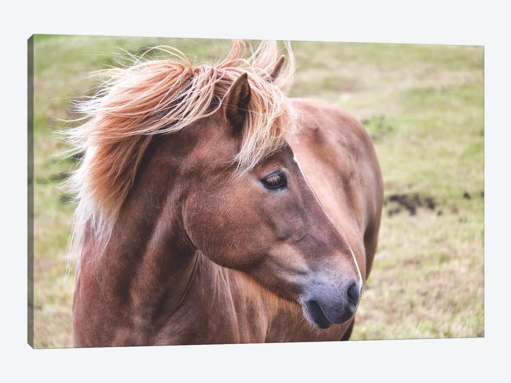 Icelandic Pony by MScottPhotography 1-piece Canvas Artwork