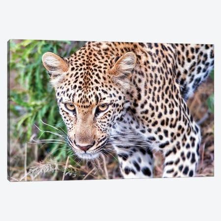 Leopard Close Up Canvas Print #MPH75} by MScottPhotography Art Print