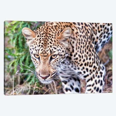 Leopard Close Up Canvas Print #MPH75} by MScottPhotography Art Print
